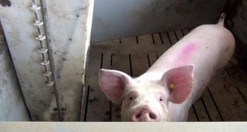 Was geschieht eigentlich mit kranken Schweinen?