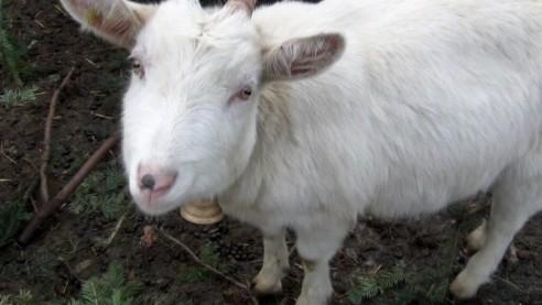 Ziegenhaltung auf dem Schweizer Bio-Hof