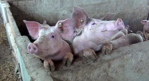 Schweinehaltung im geschlossenen System