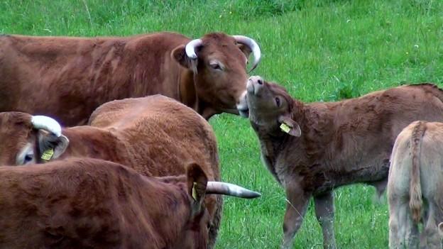 Trennungsschmerz bei Kuh und Kalb