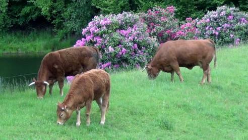 Limousin-Rinder im Odenwald