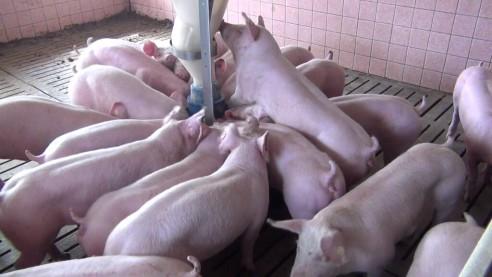 Regionale Vermarktung von Schweinefleisch