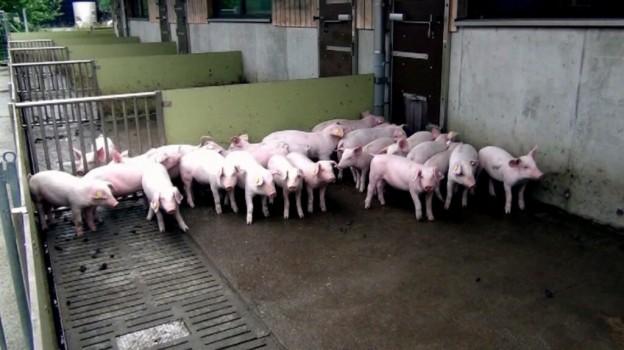 Schweinehaltung in der Schweiz 2: Im Ferkelaufzuchtstall auf dem Schweizer Strickhof