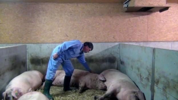 Schweinehaltung in der Schweiz 4: Gruppenhaltung und Deckzentrum für Sauen