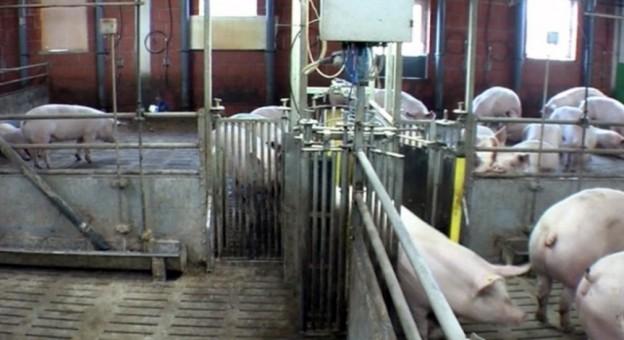 Bewährte Stallbauelemente in der Schweinemast