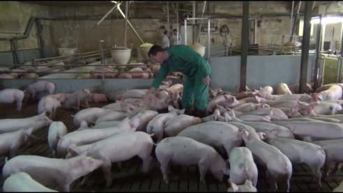 Schweinemast in großer Bucht und großem Stall