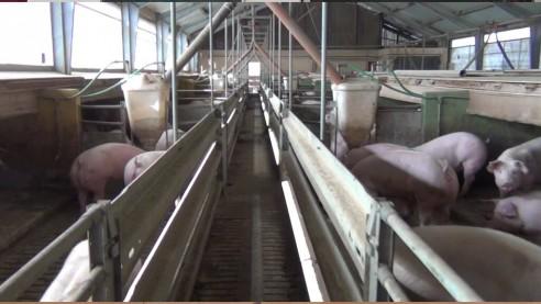 Konventionelle Schweinemast in Mittelfranken