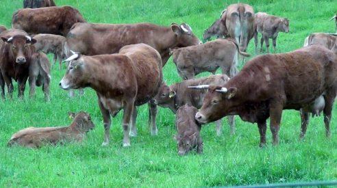 EFSA-Experten zum Tierschutz bei der Schlachtung tragender Tiere