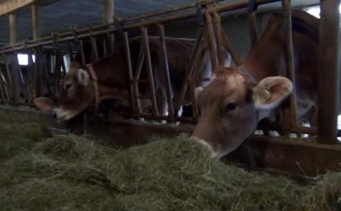 Kranke und gesunde Kühe
