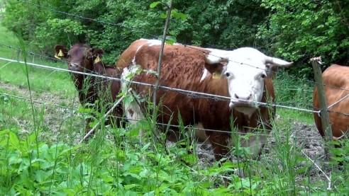 Niedersächsische Vereinbarung gegen Schlachtung tragender Rinder