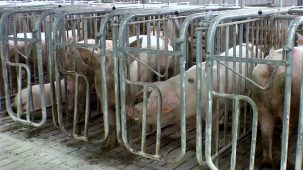 Aktuelle Probleme des Tierschutzes – Kastenstand ade?!