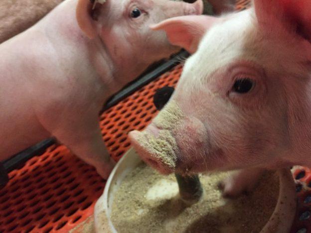 Schweinehalterin schreibt Offenen Brief an Schlachtunternehmen