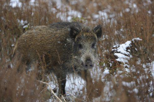 Zusammenarbeit bei Bekämpfung der Afrikanischen Schweinepest auf EU-Ebene verstärkt