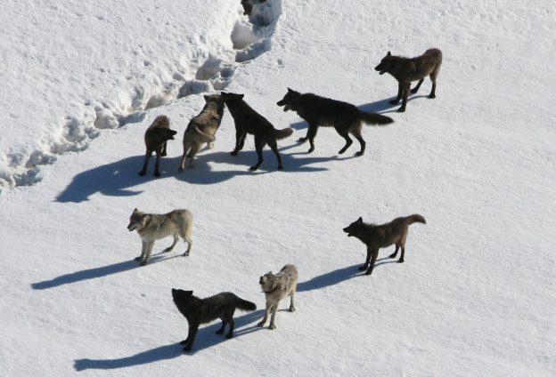 """Michael Stübgen: """"Es geht nicht um die Ausrottung des Wolfes"""""""