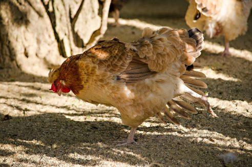 EFSA warnt vor Vogelgrippe