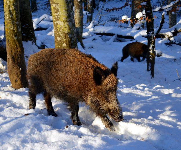 Erster Fall von Afrikanischer Schweinepest bei Wildschwein in Sachsen